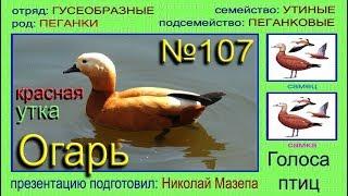 Огарь. Красная утка. Голоса птиц
