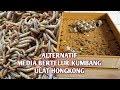 TERUNGKAP!!! BAHAN MEDIA ALTERNATIP UNTUK BERTELUR ULAT HONGKONG - KEPIK Ulat Hongkong   MEALWORM