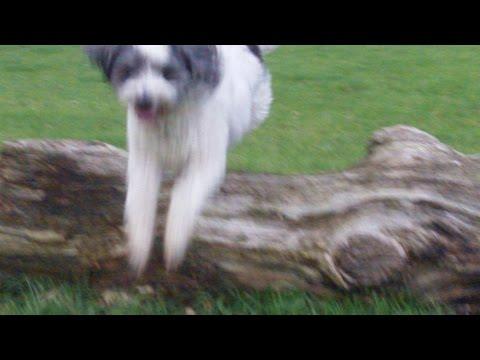 Tibetan Terrier Baxter at A & B Dogs Boarding & Training Kennels.
