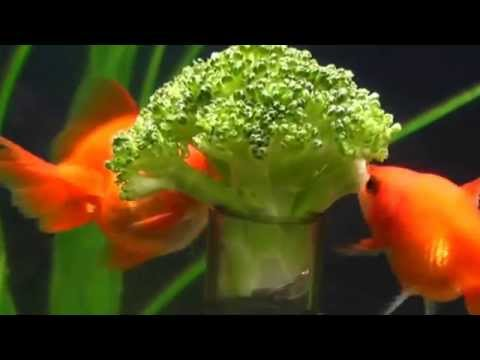 Goldfish love to eat vegetable youtube for Fish that eat other fish