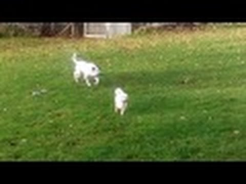 Pheobe, Peppa and Tibetan Terrier messing.