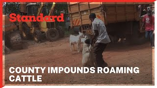County impounds roaming cattle at Wote town in a bid to curb town livestock keeping