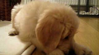 Goldendoodle puppy & the carrot