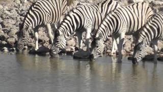 African Safari - Namibia, Etosha National Park : Zebras
