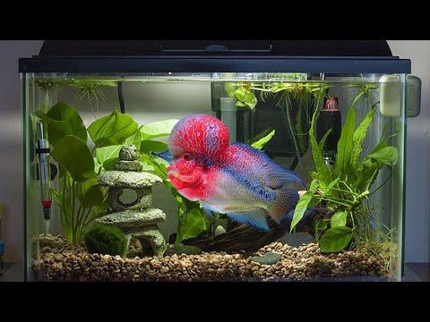 Step By Step Method In Breeding Flowerhorn Fish