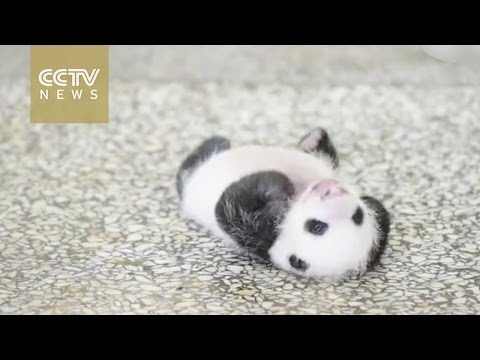 Baby panda struggles to turn over, surrenders eventually