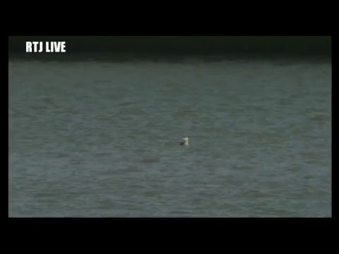 RTJ Live - Black Throated Diver and Peregrine in Ramsgate