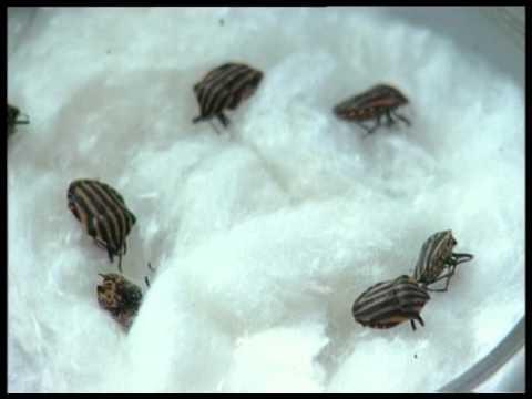 Вредители и полезные насекомые. О колорадском жуке. Урожайные грядки.
