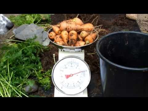 Organic Carrots. Chantenay Red Cored, grown in a 10 inch pot on a Patio.