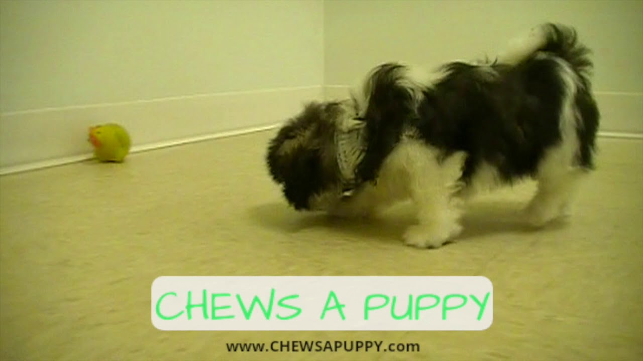 Shih Tzu Puppy For Sale Chews A Puppy Orlando Youtube