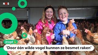 Alle 60.000 kippen van Tessa en Jaap moeten verplicht binnen blijven
