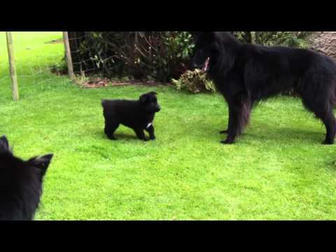 Groenendael puppies playing