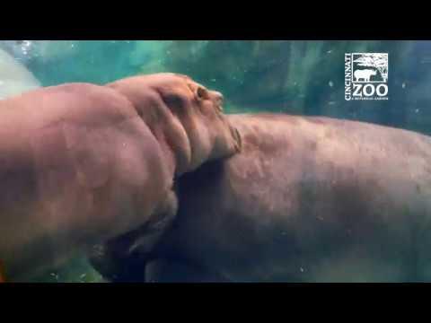 Baby Hippo Fiona and Mom Bibi Playing - Cincinnati Zoo
