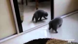 Приколы с кошками. Смешные кошки Кот у зеркала Ржак!