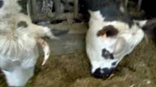 les vaches normandes aiment le maïs