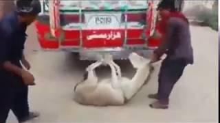 Very funny Pakistani Video, funny animal , donkey video