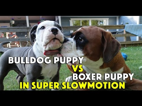 Boxer Dog vs Bulldog Puppy In Super Slow Motion ❤