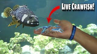 feeding-my-pet-grouper-live-crawfish