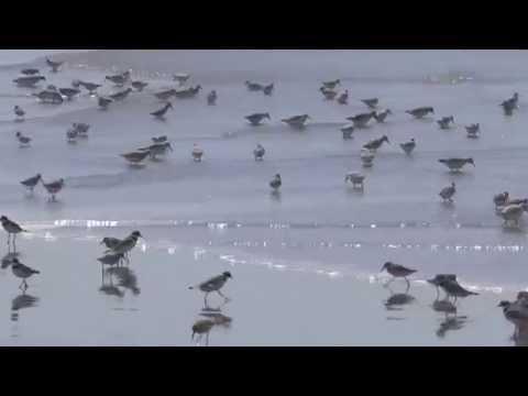Shore Birds at Ocean Shores, WA