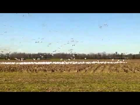 Snow Geese in Sussex County, Delaware