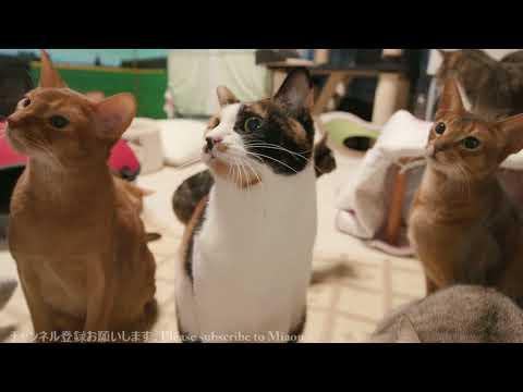 2018 1.28 チュール 猫部屋ライブ映像   Cats & Kittens room 【Miaou みゃう】