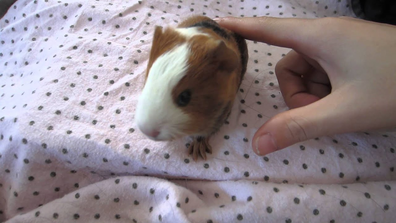 Baby Guinea Pig Wheeking For Five Minutes Straight Youtube