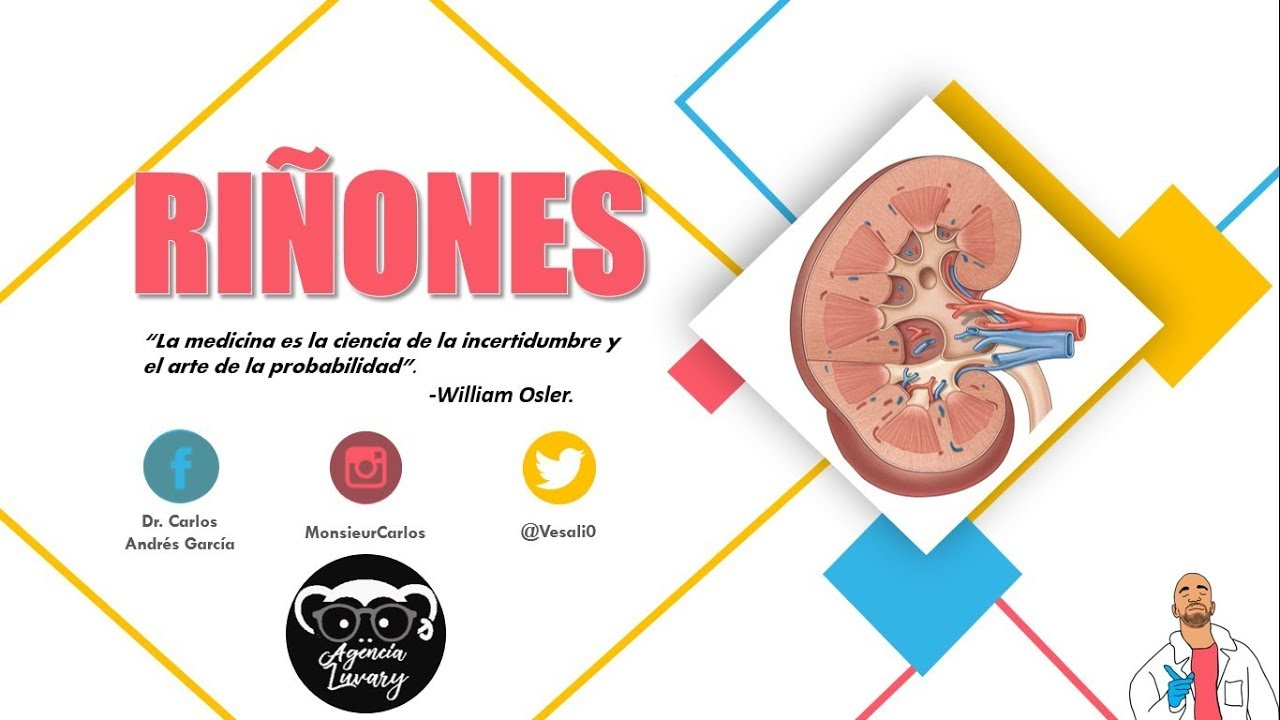 Anatomía - Riñón Pt. I (Caras, Bordes, Relaciones, Fascia Renal ...