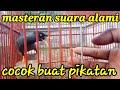 Suara Khas Jalak Kebo Pikatan  Mp3 - Mp4 Download