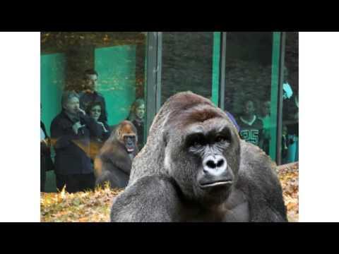 Harambe sings HARAMBE by HIP HOP PANTSULA HHP