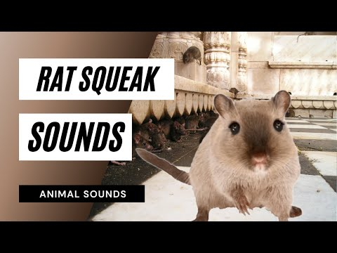 The Animal Sounds: Rat Squeak - Sound Effect - Animation