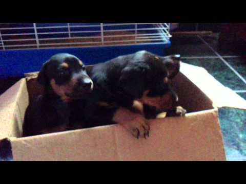 Cute Doberman Puppies Barking