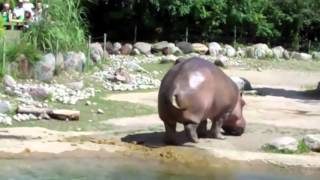 World's Biggest and Longest Fart ever   The Hippo