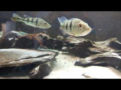 New Fresh Water Livestock 5-28-19 – Aqua Imports – Online ... |Peacock Bass Aquarium