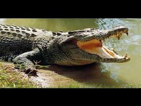 Crocodile King National Geographic Wild Documentary 2017