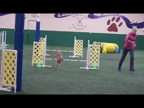 Irish Terrier Brooke in agility FCDTC 2017-03-10