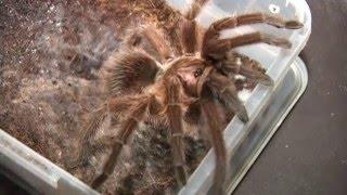 Гигантские пауки в обычной квартире