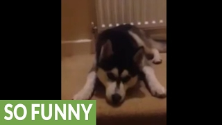Extremely stubborn husky refuses to leave home