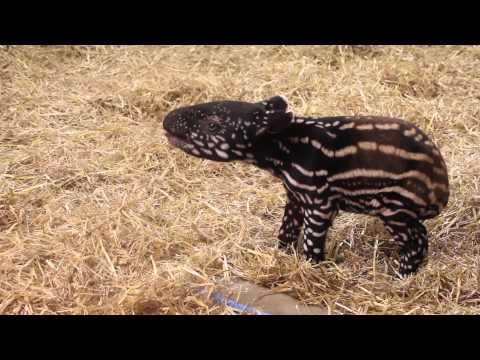 Minnesota Zoo Welcomes NEW Malayan Tapir Calf