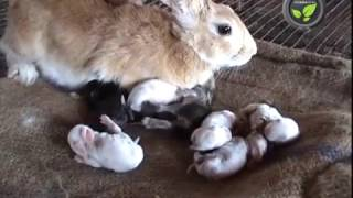 Care of Pregnant and Delivered Rabbit and Newly Born Kittens