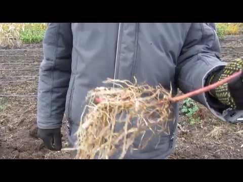 Как посадить саженец ежевики осенью