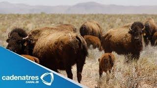 El pueblo de Janos, Chihuahua, se convierte en reserva de bisontes / De mochilazo