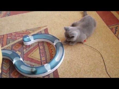 Süßer Britisch Kurzhaar Kitten Nicki spielt mit der CatIt Senses Spielschiene