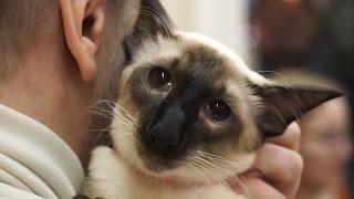 Балинез. Балийская порода кошек.