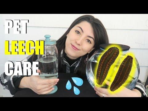Pet Leech Care | Leeches As Pets | Medicinal Leech