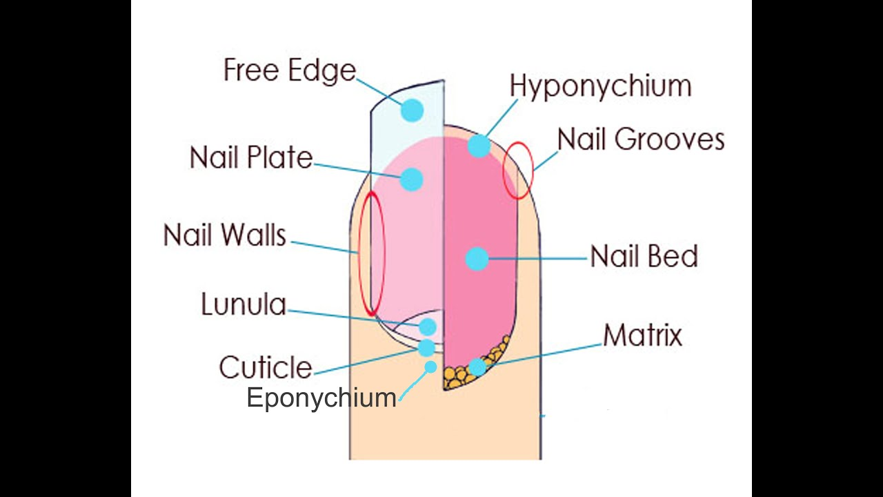 Nail structure and growth review youtube ccuart Images