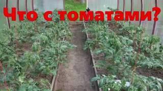 Что с томатами? Уход за томатами, (51  28.05.16)(Как сеяла, пикировала и высаживала томаты в теплицу смотрите видео по ссылкам :https://youtu.be/cWIxCs07zJY https://youtu.b..., 2016-05-28T20:16:32.000Z)