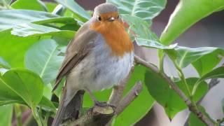 Ein rotkehlchen singt seine melancholische melodie.