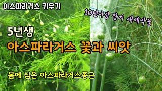 아스파라거스 키우기 아스파라거스 꽃과 열매 새순 재배방…