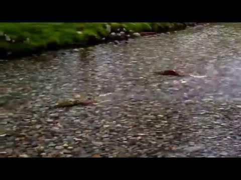 Salmon Run in B.C. Canada  2014