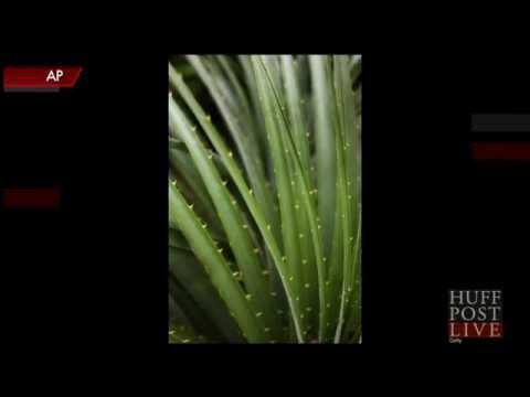 Carnivorous Sheep-Eating Plants